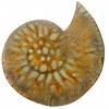 fossil-brooch-2